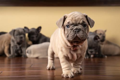 Lilac French Bulldog Puppy Walking At You