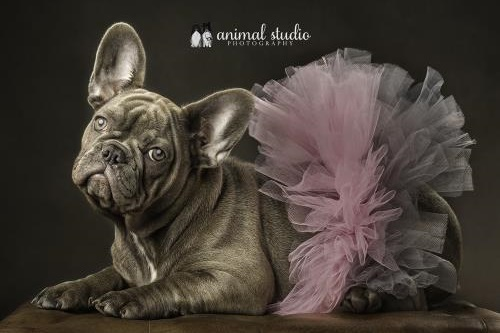 Lilac French Bulldog Puppy in a toto