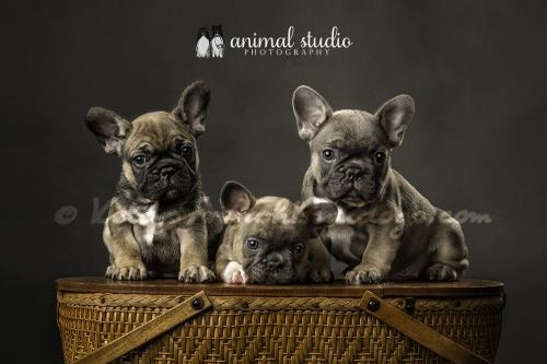 Fawn French Bulldog Puppies