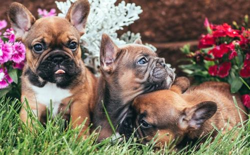 Fawn French Bullog Puppies in Grass